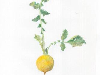 黄色いかぶの画像