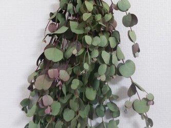 ドライフラワー・天然素材・グニユーカリ・全長約50cm・約53g(自然素材)の画像