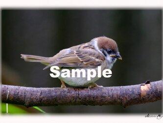 No.003  スズメ(雀)その1 ポストカード5枚組 の画像