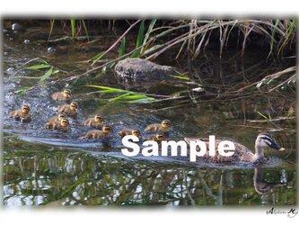 No.005 水辺の野鳥 その1 ポストカード5枚組 の画像