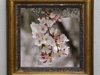 お部屋に桜の花の写真を飾りませんか?の画像