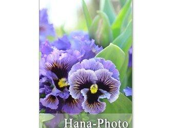 1083) フリフリパンジーとチューリップなど春の花  ポストカード5枚組の画像