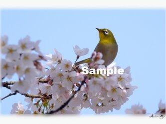 No.011  桜とメジロ ポストカード5枚組 の画像