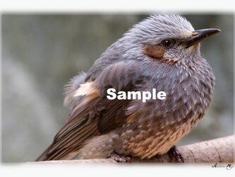 No.014 身近な野鳥たち ヒヨドリ ポストカード5枚組 の画像