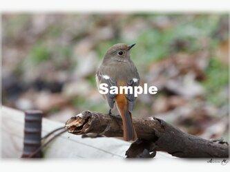 No.017 身近な野鳥たち ジョウビタキ ポストカード5枚組 の画像