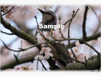 No.019 身近な野鳥たち ヒヨドリと満開の桜 ポストカード5枚組 の画像