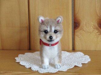 柴犬  子犬の画像