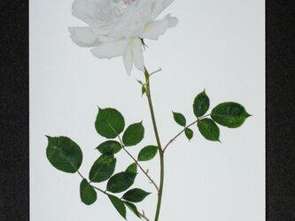 バラのポストカード ガブリエルの画像