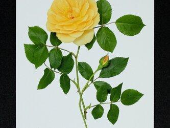 バラのポストカード グラハム・トーマスの画像