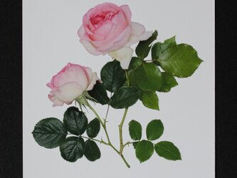バラのポストカード ピエール・ド・ロンサールの画像