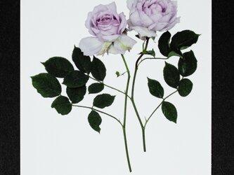 バラのポストカード ルシファーの画像