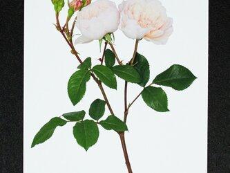 バラのポストカード ジェネラス・ガーデナーの画像