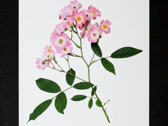 バラのポストカード バレリーナの画像