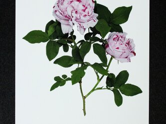 バラのポストカード バリエガータ・デ・ボローニャ の画像