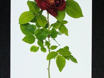 バラのポストカード バロン・ジロード・ランの画像