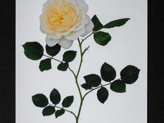 バラのポストカード クロッカス・ローズの画像