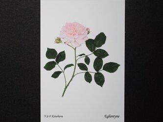バラのポストカード エグランティーヌの画像