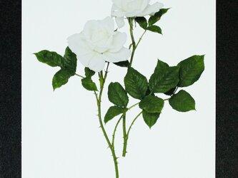バラのポストカード アンナプルナ の画像