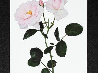 バラのポストカード ニュー・ドーンの画像