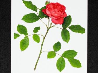 バラのポストカード ベンジャミン・ブリテンの画像
