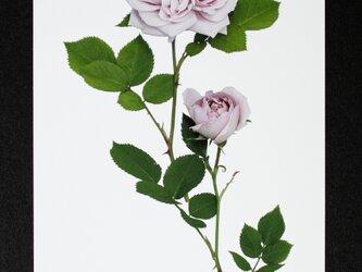 バラのポストカード アッシュ・ウェンズデー の画像