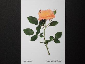 バラのポストカード スーブニール・ド・アンネ・フランク の画像