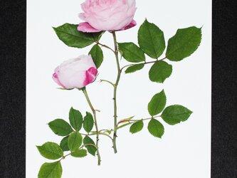 バラのポストカード マダム・ピエール・オジェの画像