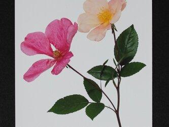 バラのポストカード ムタビリスの画像