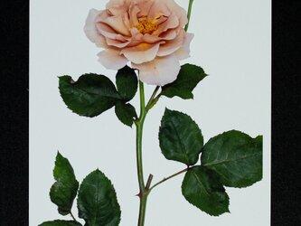 バラのポストカード ジュリアズ・ローズの画像