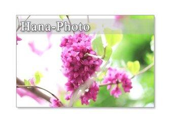 1092)  ハナズオウ、オオデマリ、八重桜、ウコン桜  ポストカード5枚組 の画像