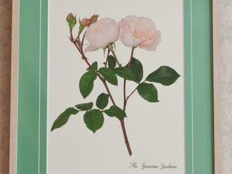 バラの写真(太子サイズ額装) ジェネラス・ガーデナー(他のバラも可)の画像