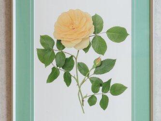 バラの写真(三々サイズ額装) グラハム・トーマス(他のバラも可)の画像