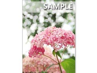 1093) ピンクアナベル、渦紫陽花、赤の紫陽花など ポストカード5枚組 の画像