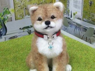 キャメル毛❤お座り豆柴子犬の画像