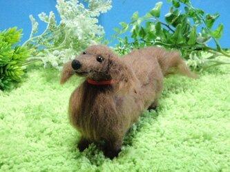 羊毛犬*ダックスフンド*チョコの画像