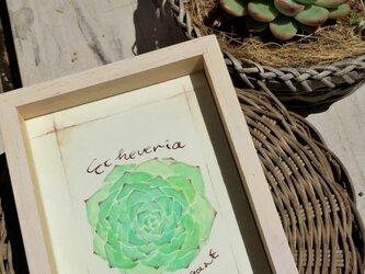 【monokli】Echeveria〜多肉植物のインテリアフレーム〜の画像
