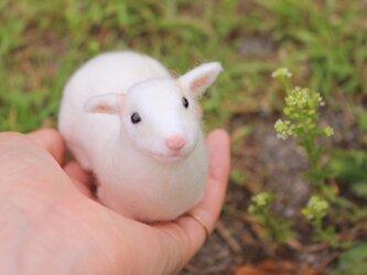 白いコヤギの画像