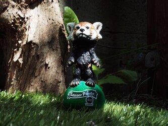 Lesser Panda【レッサーパンダ】の画像