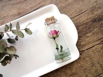 植物標本 Botanical Collection■No.R-1 バラ アイリーンの画像