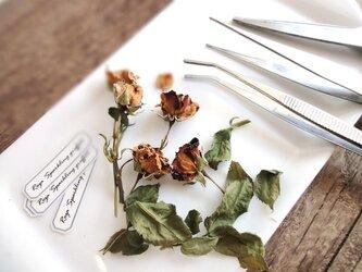 【展示のみ】植物標本 Botanical Collection■No.R-3 バラ スパークリング・グラフティーの画像