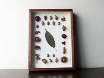 ドングリの標本函の画像