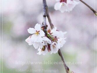 フォトパネル*【桜が咲いたら】の画像