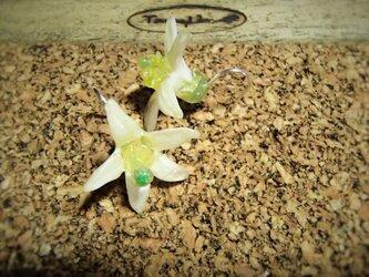蜜柑の花のピアスの画像