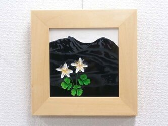なつかしの山・思い出の花シリーズ「天狗岳・ミツバオウレン」の画像