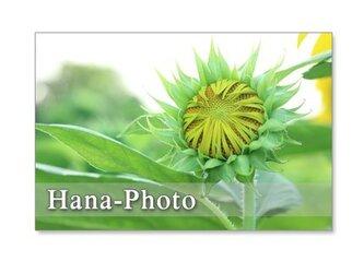 1122) ヒマワリ 1   ポストカード5枚組の画像