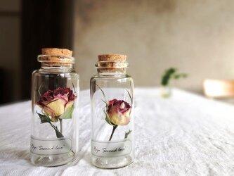 【展示のみ】植物標本 Botanical Collection■No.R-8 バラ セカンドラブの画像