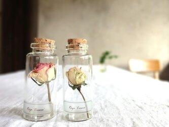 【展示のみ】植物標本 Botanical Collection■No.R-11 バラ シセロの画像