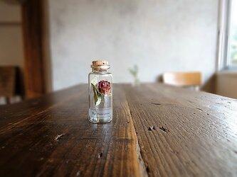 【展示のみ】植物標本 Botanical Collection■No.R-14 バラ フォーカスポーカスの画像