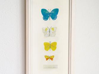 イラスト標本/蝶の画像