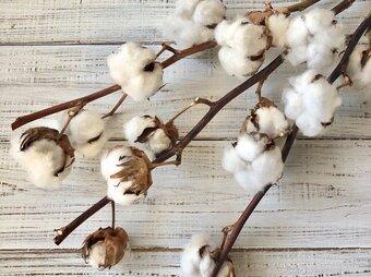 コットンフラワー 3本 5ヘッド 高クオリティ ドライフラワー 花材 オフホワイト 綿花 綿の花 綿の実 インテリア ★星月猫の画像